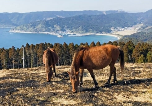 宮崎県・都井岬の御崎馬に急接近
