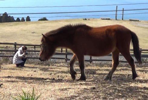 宮崎の野生馬・御崎馬に、都井岬で出会う