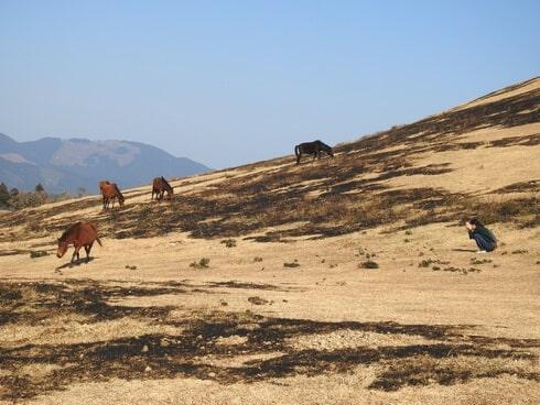 都井岬の御崎馬、様子を見ながら距離を詰めてみる