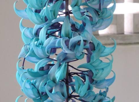 ヒスイカズラ、青と紫の翡翠色した珍しい花
