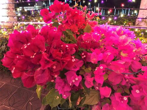 東南植物楽園 イルミネーションとブーゲンビリア