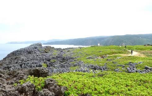 沖縄・辺戸岬に生えている植物・テリハクサトベラ