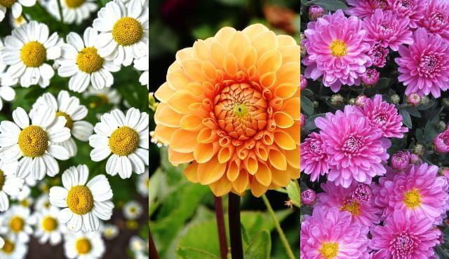知ってた?実は縁起のいい花「菊」と 9月9日「重陽の節句」