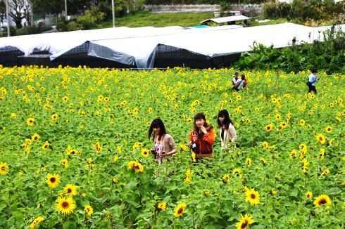沖縄県の2月の風景 ひまわり in 北中城